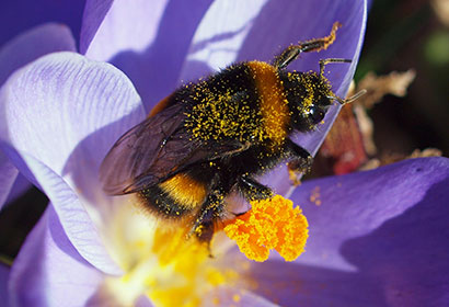Bumblebee Queens and the Quest for Conservation